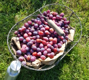 plums basket