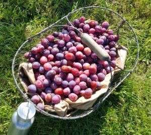 plums basket